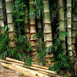 Semillas de bambú de hierro