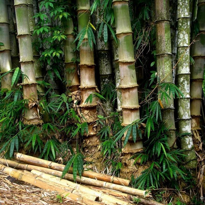 Semi di Iron Bamboo (Dendrocalamus strictus) 4 - 4