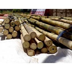 Semi di Iron Bamboo (Dendrocalamus strictus) 4 - 2