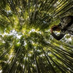 Male bamboo Frön - Calcutta bamboo 4 - 3