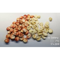 Graines de maïs Sacsa Kuski géant péruvien 3.499999 - 3