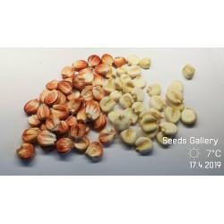 Sementes de milho gigante peruano Sacsa Kuski 3.499999 - 3