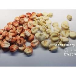Graines de maïs Sacsa Kuski géant péruvien 3.499999 - 4