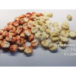 Sementes de milho gigante peruano Sacsa Kuski 3.499999 - 4