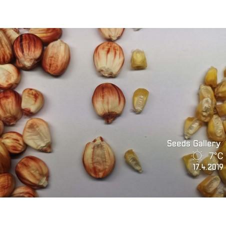 Adzukibohne Samen (Vigna angularis)
