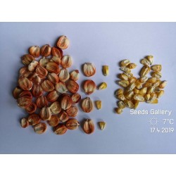 Graines de maïs Sacsa Kuski géant péruvien 3.499999 - 6