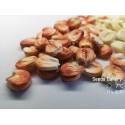 Graines de Millet Commun (Panicum miliaceum)