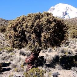 Kewiña queñua queñoa Polylepis besseri Seme 2.049999 - 4