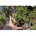 Baumheide Samen (Erica arborea)