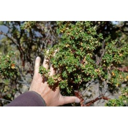 Kewiña queñua queñoa Polylepis besseri seeds 2.049999 - 3