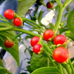 ULUPICA Bolivian Chili Seeds (Capsicum cardenasii) 2.049999 - 1