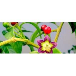 ULUPICA Bolivian Chili Seeds (Capsicum cardenasii) 2.049999 - 2