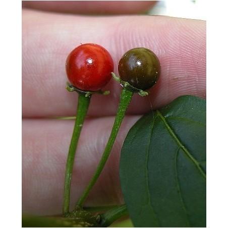 ULUPICA Bolivian Chili Seeds (Capsicum cardenasii) 2.049999 - 3