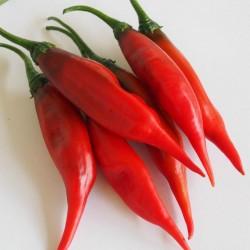 Sementes de pimentão de Aji Chicotillo Rojo (Capsicum pendulum) 2.15 - 2