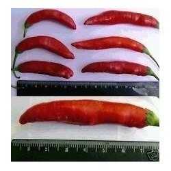 Sementes de pimentão de Aji Chicotillo Rojo (Capsicum pendulum) 2.15 - 4