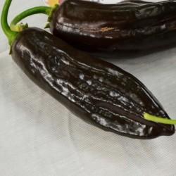 Chili Samen Aji Panca - Aji...