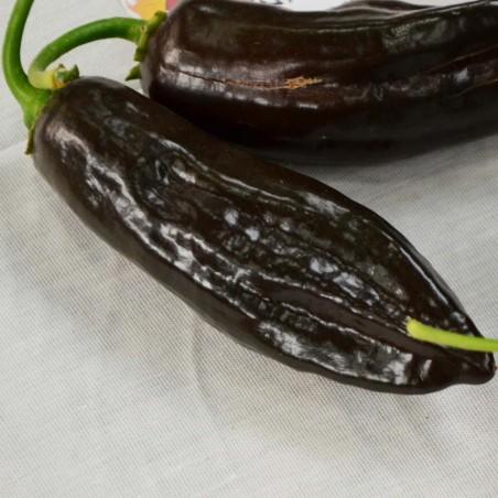 Graines de piment péruvien Ají Panca (Capsicum baccatum) 1.65 - 1