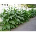 Sementes De Akebia Trifoliata Resistentes geada