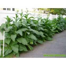 Hav. Gold Tobacco Seeds - Smooth Very Rare
