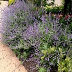 Semi di Salvia officinalis - Salvia comune 1.95 - 2