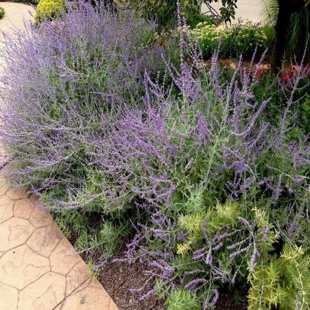 Σπόροι Φασκόμηλο ή φασκομηλιά (Salvia officinalis) 1.95 - 2