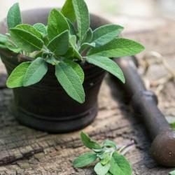 Sage - Garden Sage Seeds 1.95 - 3