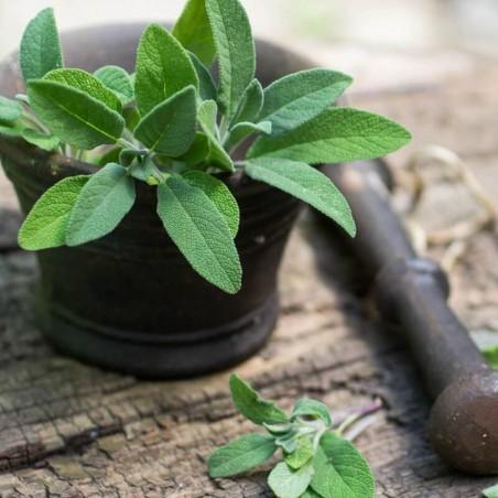 Semi di Salvia officinalis - Salvia comune 1.95 - 3