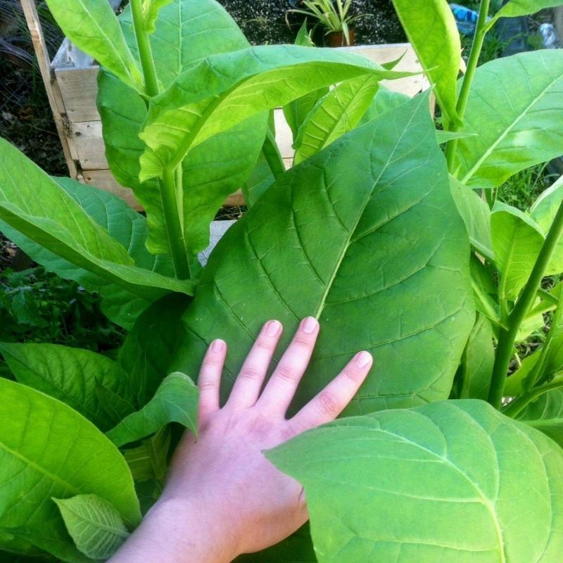 Semillas de Tabaco Virginia Gold (Tabaco Rubio) 1.75 - 1