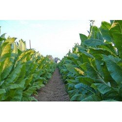 Duvan Seme ''Virginia Gold Tobacco'' 1.75 - 3