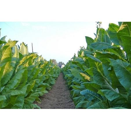 Virginia Gold Tobacco Seeds 1.75 - 3