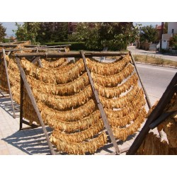 Virginia Gold Tobacco Seeds 1.75 - 4
