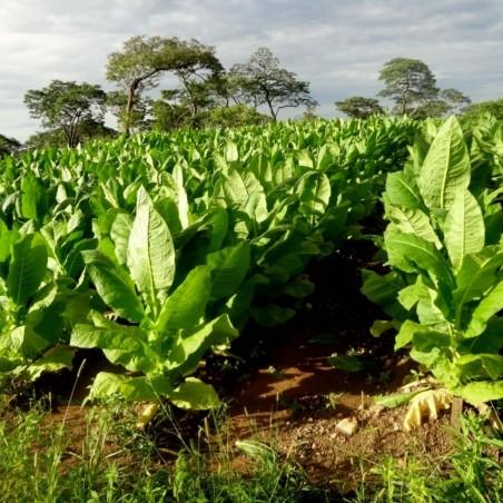 Semi di Tabacco Burley aroma di cacao 1.95 - 2