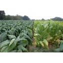 Graines de Gaultheria miqueliana