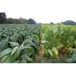 Burley Tobacco Seeds cocoa like aroma 1.95 - 3