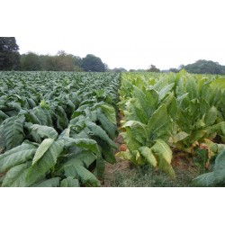 Semillas de Tabaco Burley aroma de cacao 1.95 - 3