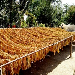 Семена табака Самсоун Ориент 1.75 - 2