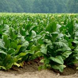 Sementes de tabaco Adonis 2.45 - 2