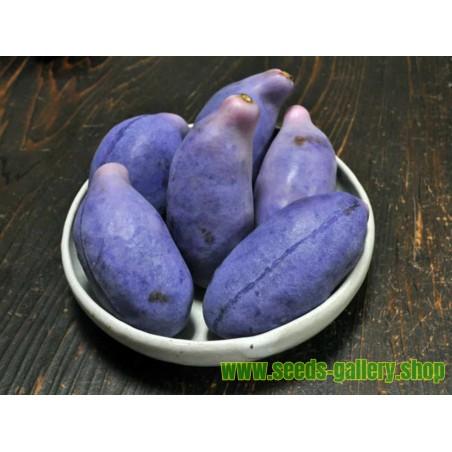 Dreiblättrige Akebia Samen