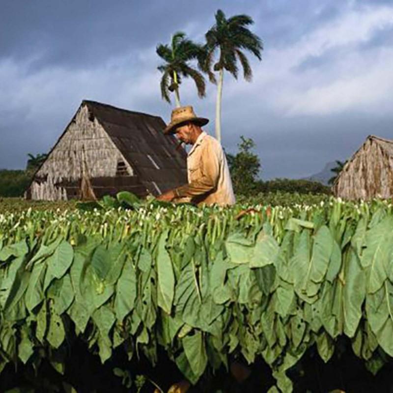 Semillas De Tabaco Adonis 2.45 - 1