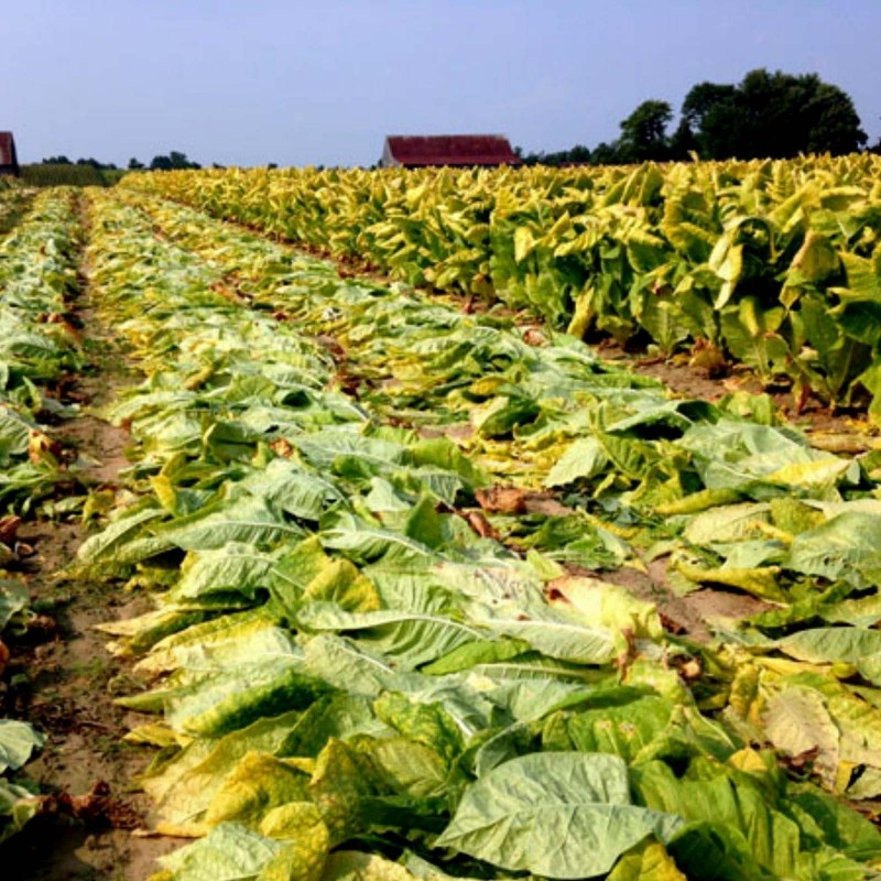 MARYLAND Tobacco Seeds 1.95 - 1