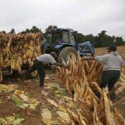 Graines de tabac MARYLAND 1.95 - 2