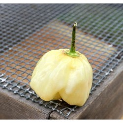 Giant White Habanero Seeds 1.95 - 6
