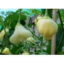 Σπόροι Wisteria floribunda Γλυτσίνια (Wisteria Sinensis)