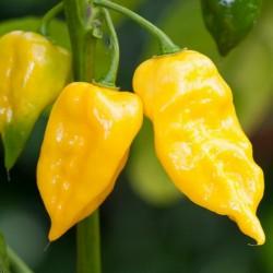 Sementes de pimentão Habanero Hot Lemon - Limão 1.95 - 3