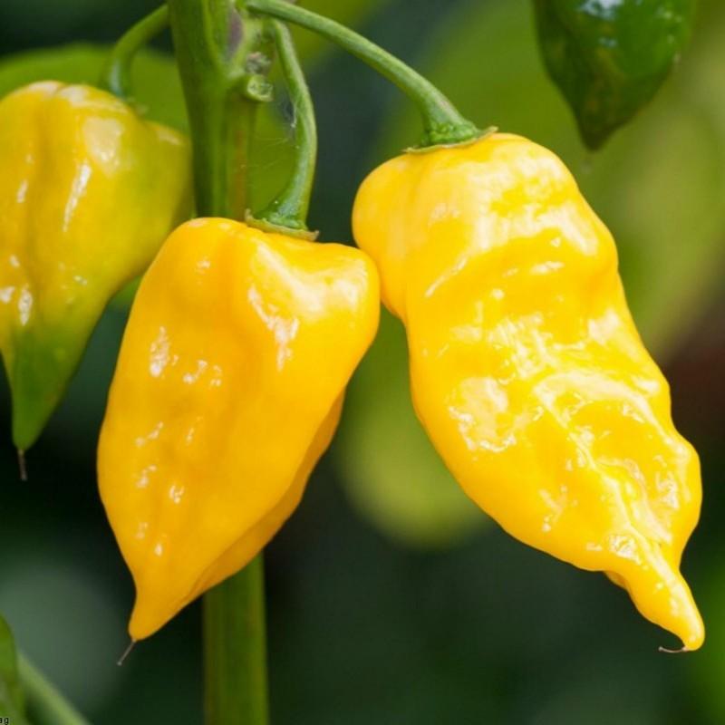 Habanero Hot Lemon Seeds 1.95 - 3