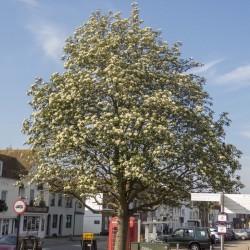 Oxel frön (Sorbus intermedia) 2.25 - 1