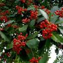 Σπόροι Φασόλια Μήνυμα Μαγεία (Robinia pseudoacacia)