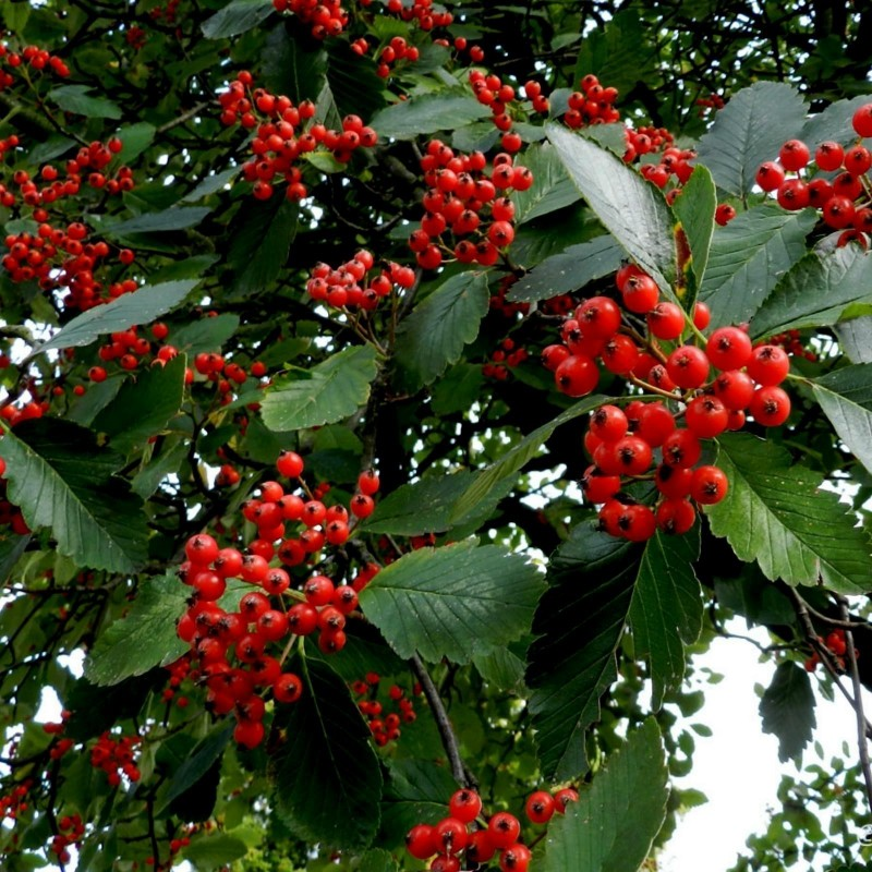 Swedish Whitebeam Seeds Bonsai (Sorbus intermedia) 2.25 - 3