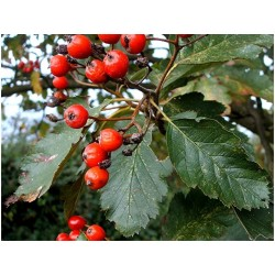 Swedish Whitebeam Seeds Bonsai (Sorbus intermedia) 2.25 - 2