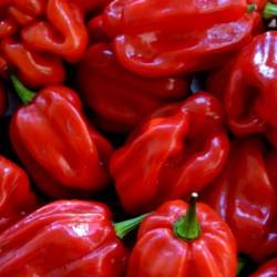 Gambia Habanero Rot Chili Samen Riesige Früchte 2 - 6
